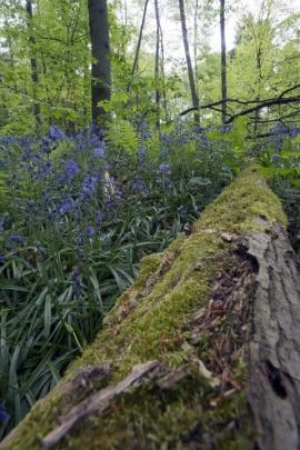 jacinthes sauvages dans le bois jouxtant l'abbaye de Villers-la-Ville