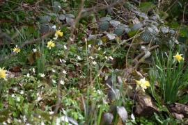 Anémone Sylvie sauvage et jonquillesplante des sous-bois blanche de nos régions.