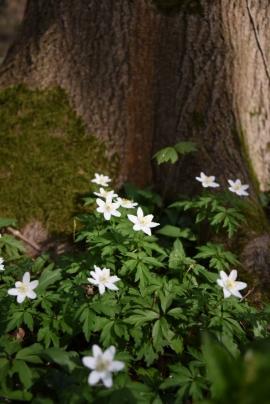 Anémone Sylvie sauvage, plante des sous-bois blanche de nos régions.