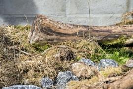 En partenariat avec Infrabel etle Service public de Wallonie, le Domaine des grottes de Han (Rochefort) a inauguré22 mai 2017un centre de sauvegarde de couleuvres coronelles, l'une des trois espèces de serpent recensées en Belgique.