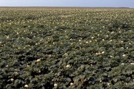 Champs de pomme de terre en fleur.