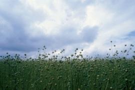 Champs de blé sous un ciel orageux.