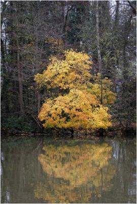 Arbre en automne se réfléchissant dans la Meuse à La Plante (Namur).