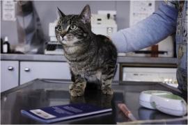 Pose d'une puce identificatrice à un chat.