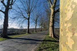 Arbres bordant une route à Lixhe (Visé).